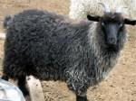 Nigora goat