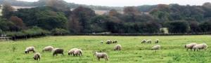 erasehdr_sheep_grazing