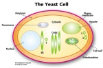 yeastcell