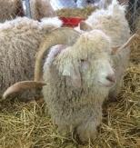 BSG_goat